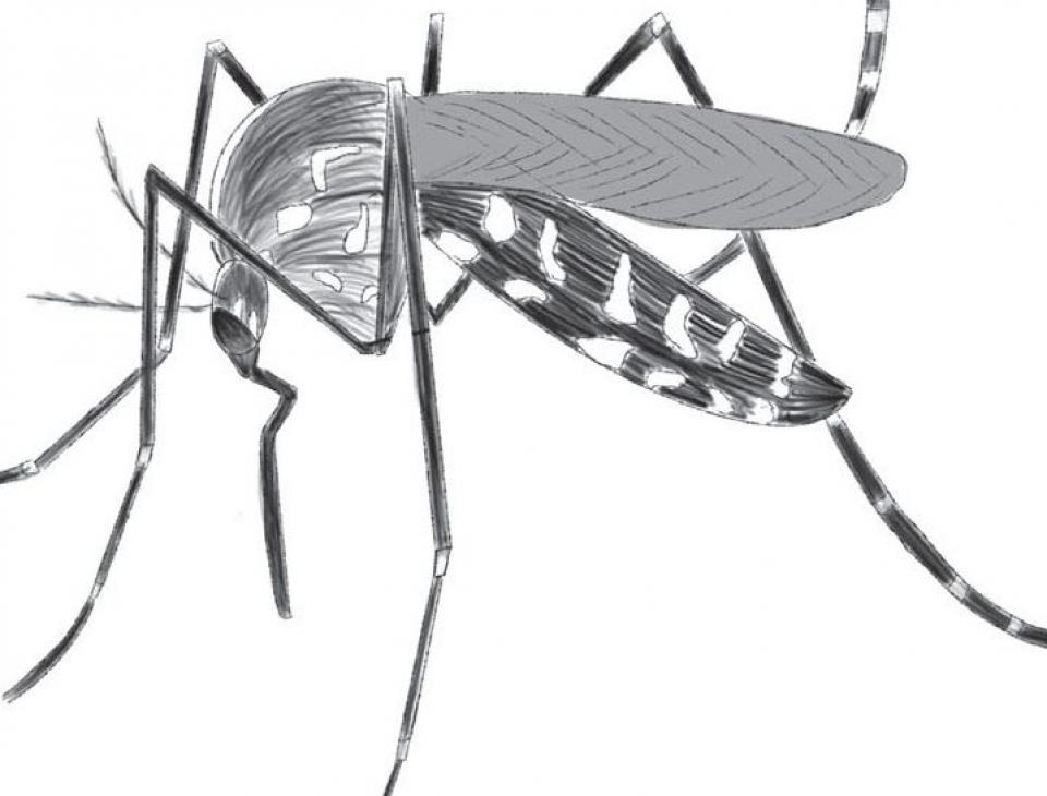 mosquito drawing2