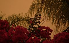 Tall bougainvillea plants sway amongst the palm trees in Fullerton, Calif. during the El Dorado fire on Sept. 9.