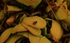 Resting atop a leafy plant, a common house fly crawls through the El Dorado wildfire ash on Sept. 9 in Fullerton.