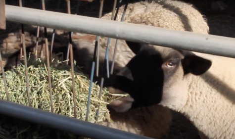 Video: Despite pandemic, life on the Agriculture farm goes on