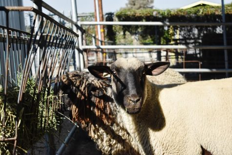Since the start of hybrid learning on Nov. 2, agriculture students have had the chance to see the three newly born kids and one lamb whose mothers are shown eating grass almost two months before the first lamb was born on Dec. 10.