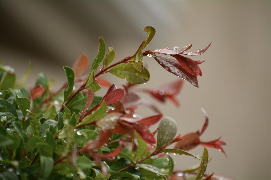 After torrential showers in Fullerton on Jan. 29, the rainfall leaves plants completely drenched.